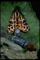 : Apantesis ornata; Ornate Tiger Moth