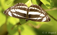 Neptis sappho - Common Glider
