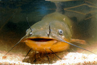 Ameiurus melas, Black bullhead: fisheries, aquaculture, gamefish