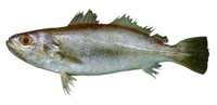 Cynoscion jamaicensis, Jamaica weakfish: fisheries, gamefish