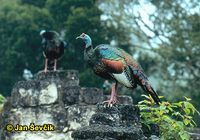 Meleagris ocellata - Ocellated Turkey