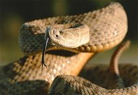 Photo: A coiled prairie rattlesnake