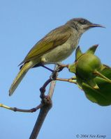 Brown Honeyeater - Lichmera indistincta