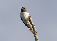 White-breasted Woodswallow - Artamus leucorynchus