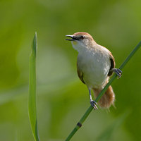 Yellow-chinned Spinetail (Certhiaxis cinnamomea) photo