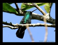Green Mango - Anthracothorax viridis