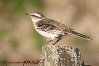 Chalk-browed Mockingbird - Mimus saturninus