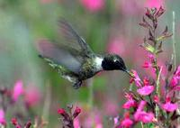 A male Black-chinned Hummingbird