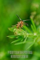 ...Common red soldier beetle ( Rhagonycha fulva ) at point of liftoff from Gallium aparine ( 07 558