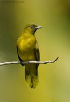 Black-headed-Bulbul