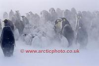 FT0105-00: Emperor Penguin chicks huddle during a severe snow storm. Antarctica