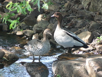: Chenonetta jubata; Maned Wood Duck