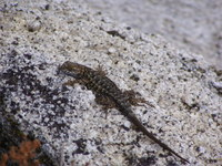 : Sceloporus occidentalis taylori; Sierra Fence Lizard
