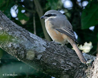 Gray-backed Shrike
