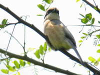 Lanius bucephalus Bull-headed shrike モズ♂
