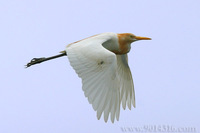 Cattle Egret 牛背鷺
