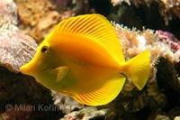 Zebrasoma flavescens - Lemon Sailfin
