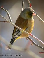 Grey-capped Greenfinch - Carduelis sinica