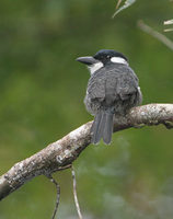 Black-breasted Puffbird (Notharchus pectoralis) photo