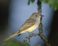 Brown-crested Flycatcher (Myiarchus tyrannulus) photo