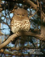 African Barred Owlet - Glaucidium capense