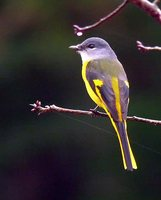 Gray-chinned Minivet - Pericrocotus solaris
