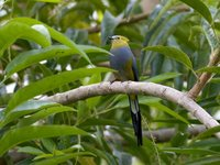 Long-tailed Silky-flycatcher - Ptilogonys caudatus