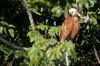 Black-collared  hawk   -   Busarellus  nigricollis   -   Poiana  dal  collare