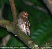 Vermiculated (Choco) Screech-Owl (Megascops guatemalae/chocoensis)