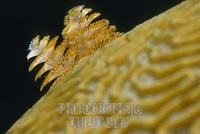 Yellow tubeworms on brain coral , Cuba , Caribbean stock photo