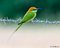 Green Bee-eater (nasty Thailand barbwire)