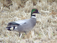 청머리오리 Anas falcata | falcated teal