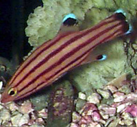 Liopropoma rubre, Peppermint bass: aquarium