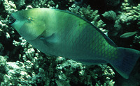 Scarus ferrugineus, Rusty parrotfish: fisheries