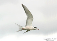 Sterna hirundo - Common Tern