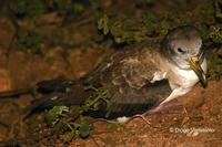 Image of: Calonectris diomedea (Cory's shearwater)