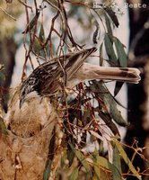Striped Honeyeater - Plectorhyncha lanceolata
