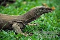 Monitor Lizard at Taman Negara National Park Malaysia stock photo