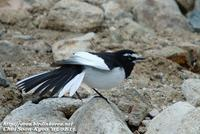Fig. 15. Japanese Wagtail : 검은등할미새
