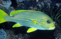 : Plectorhinchus polytaenia; Ribboned Sweetlips
