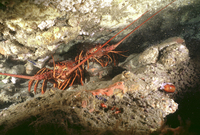 : Panulirus interruptus; California Spiny Lobsters