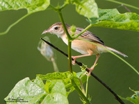 Zitting Cisticola Scientific name - Cisticola jundicis
