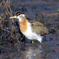 Bronze-winged Jacana - juvenile