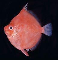 Antigonia capros, Deepbody boarfish: fisheries