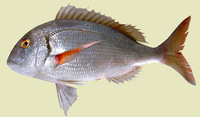 Pagrus africanus, Southern common seabream: fisheries, gamefish