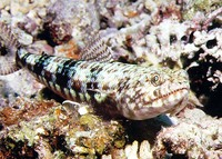 Synodus binotatus, Two-spot lizard fish: fisheries