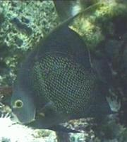 Image of: Pomacanthus paru (french angelfish)