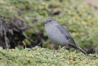 Plumbeous Sierra-Finch (Phrygilus unicolor) photo