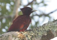Scaly-breasted Woodpecker - Celeus grammicus