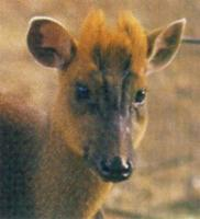 Truong Son Muntjac